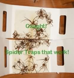 Catchmaster Spider Traps in Action