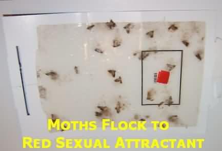 moth traps safe no poisons pesticide free pheromone traps. Black Bedroom Furniture Sets. Home Design Ideas