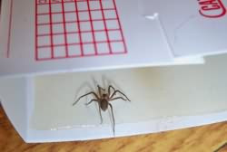 Brown Recluse Spider Traped